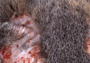 аллергия у котят симптомы и лечение