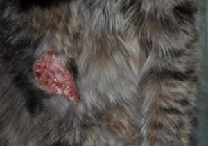демодекоз у кошек. фото
