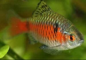 фото рыбки содержание барбусы