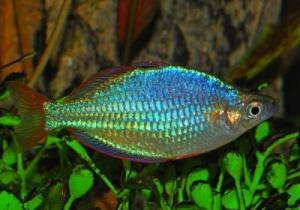 фото радужная рыбка