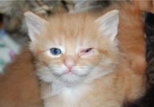 Как лечить конъюнктивит у кота