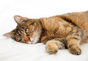 Как вызвать рвоту у кота в домашних