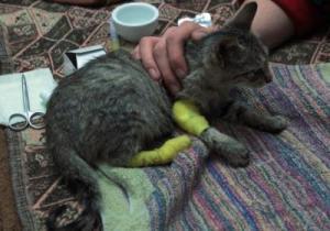 У кота укушенная рана