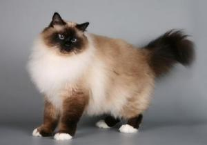 кошка священная бирманская фото