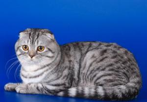 кошки шотландская порода фото