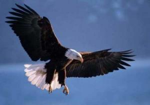 орлан белоголовый картинки