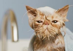 Можно ли кота купать обычным шампунем
