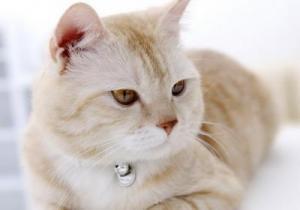 Если стерилизованная кошка просит кота