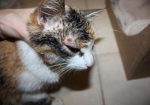 Чем лечить микроспорию у котов
